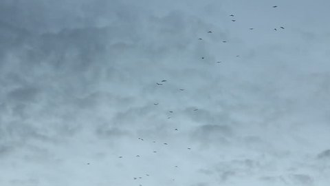 Silhouettes of migratory birds over head in pale evening sky