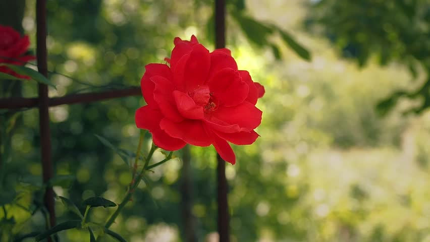 Red rose flowering in the garden. Single red rose blooming at summer, close up. Flower with red petals and green leaves close up. Summer flower blossoms. Blurred background, soft selective focus