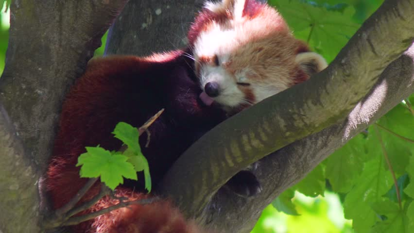 Red Panda Asleep In Tree, Rare Endangered Species From Himalayas, 4K Nature