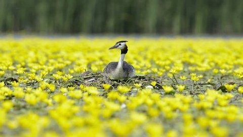 A Great Crested Grebe on a nest