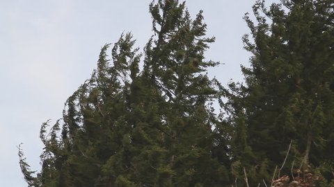 Severe storm beats evergreen trees