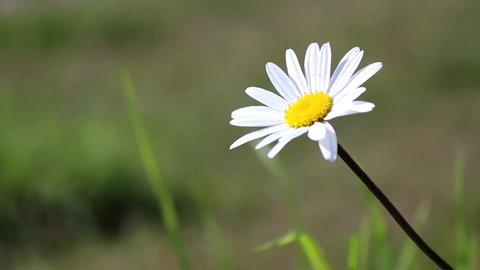 solitary daisy in a meadow on a sunny day