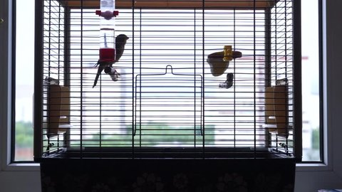 TIMELAPSE: Birdie canary jumping in a cage