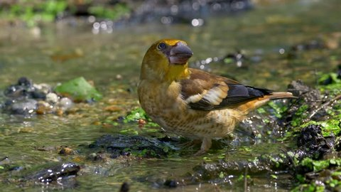 Hawfinch (Coccothraustes coccothraustes) drinking