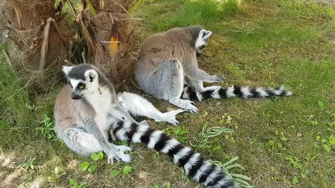 Ring-tailed Lemur (Lemur catta) sits in green meadow with playful offspring. Lemur catta in nature background.