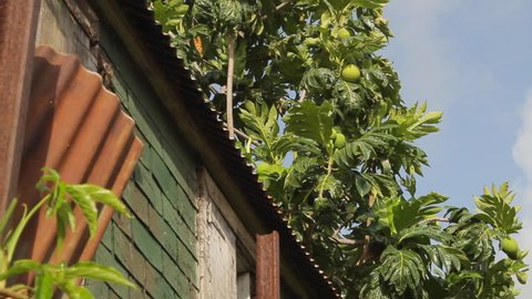 Bred fruit tree with fruit next to an old woodhouse on the island of St Kitts in the Caribbean