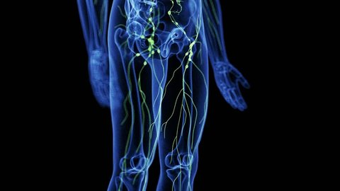 medically accurate 3d animation of the lymphatic system