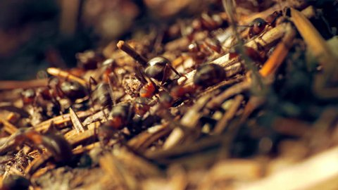 Ants nest. Fire ants crawling on the ant hill in the woods. (av25114c)