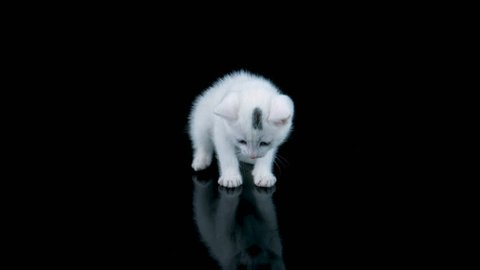 Adorable cat standing, looking around and meows, walks to camera, isolated on black background with reflection, ProRes source codec