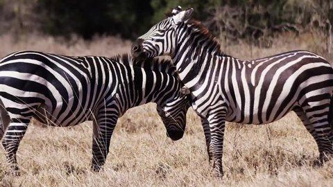 Zebra in the wild Africa Mombasa  (RedTech) (Slowmo)