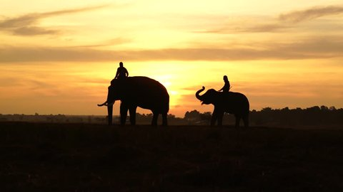Silhouette of Elephants in the landscape,Mahout and elephant on field Surin province,Thailand,