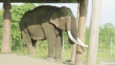 Elephant witk big tusks in the farm of national park Chitwan, Nepal.