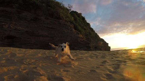 Adorable puppy dog running fast on beach kicking up sand sunrise slow motion