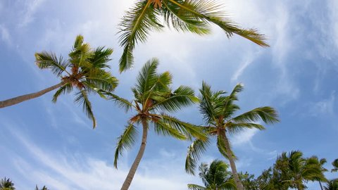 Palms in the sky. Dominican Republic beach\Palm leaves can be heard in the sky/Dominican Republic Punta Cana, palm trees against the sky, beautiful palm trees, palm leaves, vacation, travel, paradise