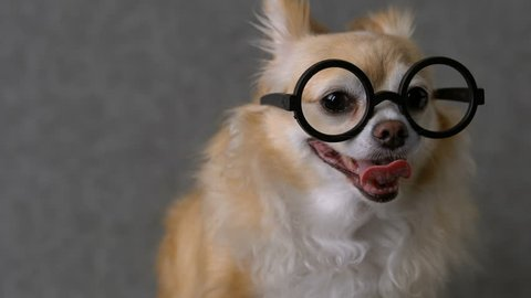 clever chihuahua brown dog wear round black glasses with grey leather background 4k format
