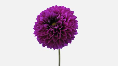 Time-lapse of blooming purple dahlia flower 3a1w in PNG+ format with ALPHA transparency channel isolated on white background