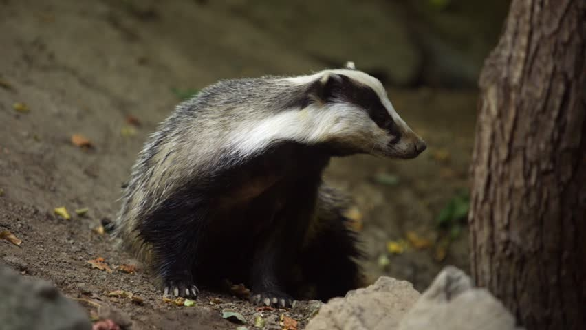 Badger looking for food in the forest
