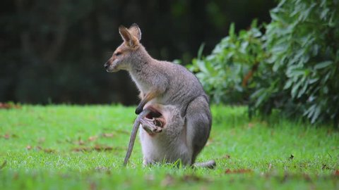 AUSTRALIA - CIRCA 2017 - Good footage of a wallaby kangaroo mother with a baby in pouch.