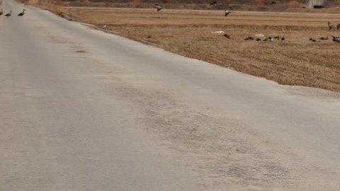 Mallard duck ,a flock mallard duck flying in rise fields After harvest and,in winter at Asan city south korea.