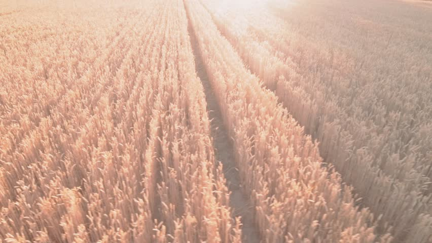 AERIAL. field with wheat. Flight over the wheat field in sunset.