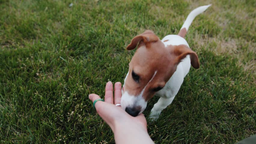 Nice little dog eating from hand of Caucasian woman in casual clothes. Pet giving paw, looking at owner. Jack russell terrier. Summertime. Nature. | Shutterstock HD Video #1013464316