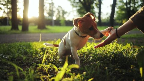 Cute pet sitting on green grass in beautiful park. Nice dog eating from hand, licking hand. Summertime. Outdoors. Jack russell terrier.