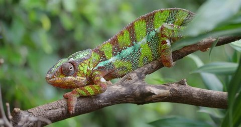 Colorful Panther Chameleon (Furcifer pardalis) close up with green sunny nature bokeh background / Colorful Panther Chameleon (Furcifer pardalis) close up with green sunny nature bokeh background