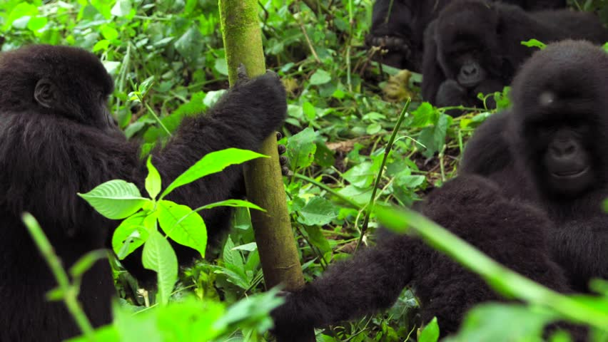 Young Silverback Gorilla at Virunga National Park Congo Africa Mountain Gorilla