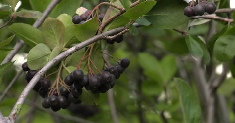 Chokeberry grows on a tree. Many branches and leaves. Small black fruit. 4K, UHD, 50fps,Closeup, Shallow depth of fields.