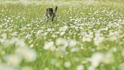 Dog running to the camera's direction on chamomile field in slow motion