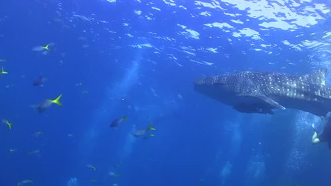 Whaleshark swimming underwater at Sail Rock, Thailand