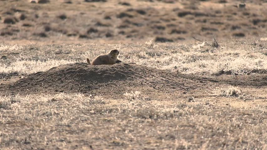 A Prairie Dog looks out over his mound, flicking his tail. He might be in danger, or he could just be getting a breath of fresh air.