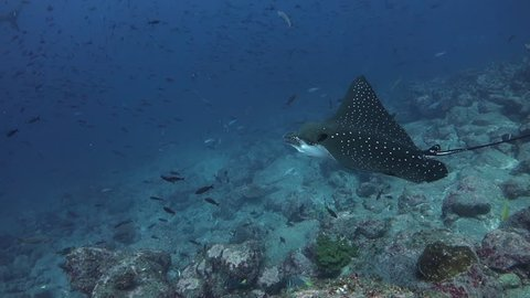 Close on eagle ray turning then swimming away at Wolf Island in the Galapagos.