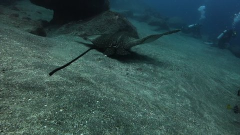 Following close behind an eagle ray as it swims over rocky sandy seabed with divers beyond.
