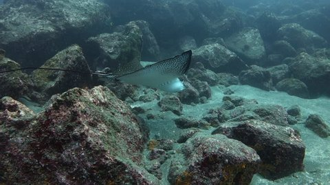 Following close behind eagle ray as it looks for food on sandy seabed at Wolf Island in the Galapagos.