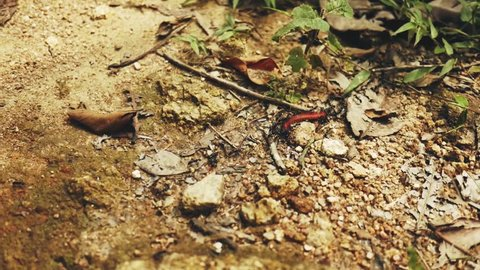 Teamwork of ants in jungle