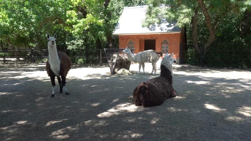 Kherson region, Ukraine - 3d of June 2018: 4K Tour to the Askania-Nova reserve - Three llamas in the reservation farm