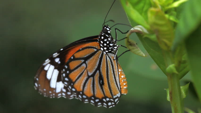 Close up of a butterfly eating a leaf. At the time of the strong winds. | Shutterstock HD Video #1013710556