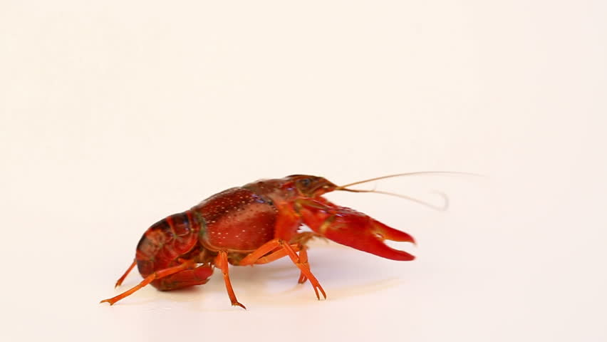 Crayfish Walking on White Background | Shutterstock HD Video #1013726846