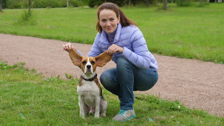 Cheerful woman stretch up Beagle long ears, funny portrait of cute young pet. Dog sit on grass, turn head and look straight to camera. Owner woman hold flaps strain by hands #1013753036