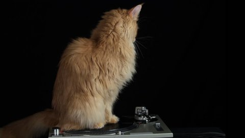 beautiful cool disco cat with a record turntable