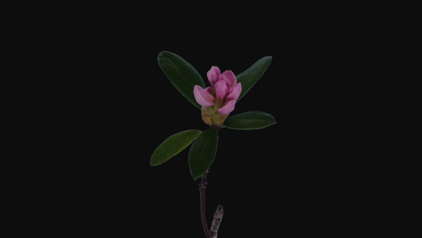 Time-lapse of opening white rhododendron (Ericacea family) 1a4 in 4K PNG+ format with ALPHA transparency channel isolated on black background