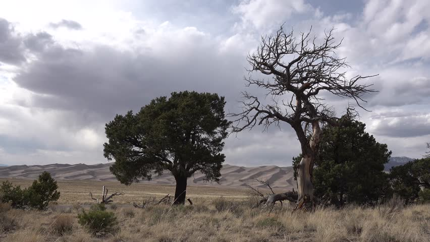A beautiful dry tree against a background of sand dunes. Great Sand Dunes National Park, Colorado, USA