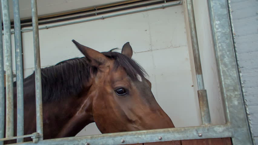 A beautiful brown horse is eating forage in his shelter. He is also looking out of the window and is slowly chewing.