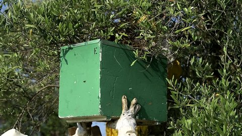 beekeepers moving a bee swarm from an olive tree branch to a polystyrene apiary