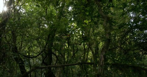 Sunrays between the dense leaves of a Drakensberg forest in South Africa