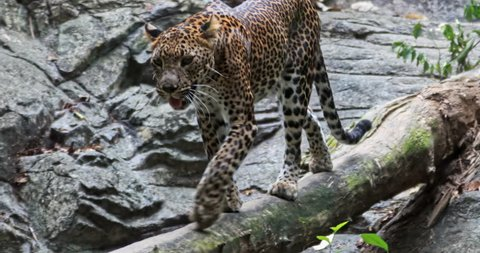 Spotted Jaguar walks inside jungle forest on fallen tree trunk. Wild panther slow motion video