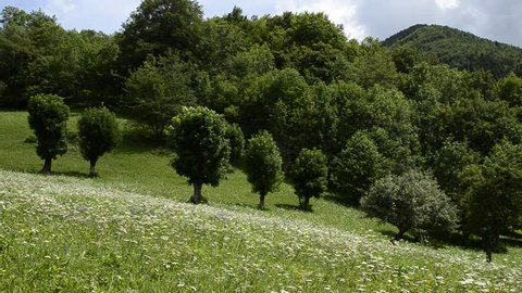 Celle di Macra, Piedmont, Italy. July 2018. Flowery mountain meadow with trees, intense green color of the herm and light breeze that makes the foliage of the trees swing. Static framing.