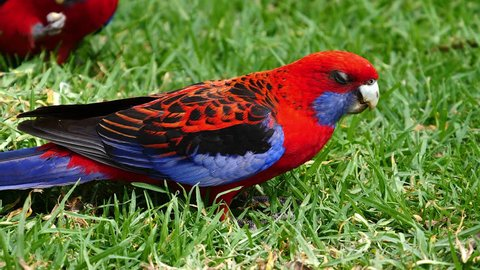 A crimson rosella parrot forages for food on the ground in Australia.