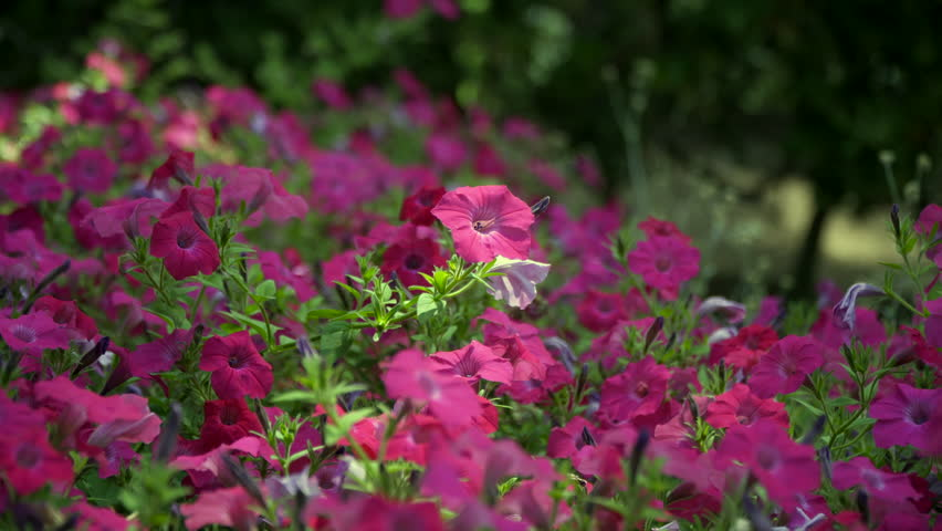 Garden of beautiful petunias in a sunny day.